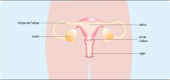 appareil_genital_feminin-1.jpg